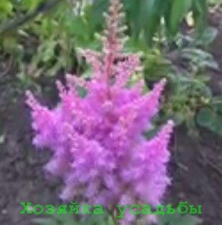Астильба, выращивание из семян и уход.