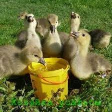 Чем кормить маленьких гусят в домашнем хозяйстве.