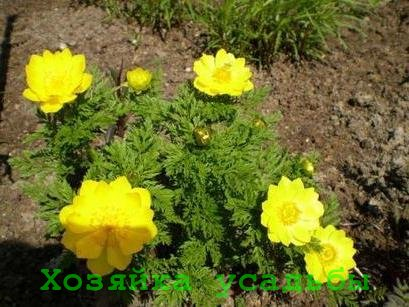 Горицвет адонис весенний, выращивание.