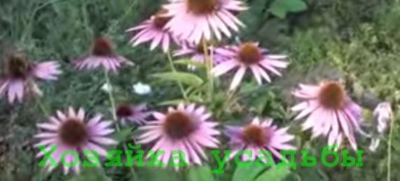 Красавица эхинацея, выращивание из семян.
