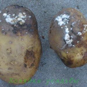 Сухая гниль картофеля, как бороться.
