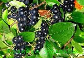 Арония черноплодная, лечебные свойства ягоды.