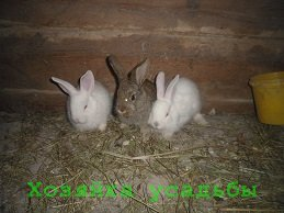 Разведение кроликов в домашних условиях для начинающих. Советы.