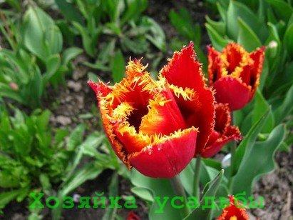 Каждый садовник знает, когда пересаживать тюльпаны.