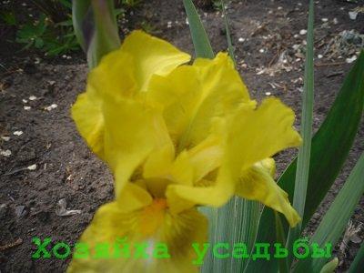 Посадка ирисов весной в саду.