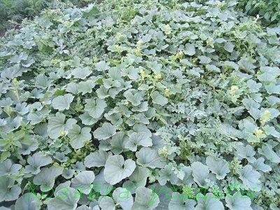 Выращивание дынь в Сибири без теплиц.