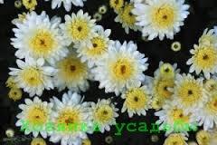 Хризантемы - посадка и уход в саду.