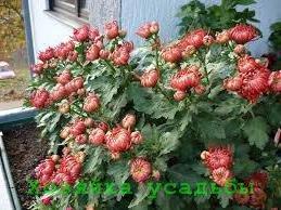 Домашнее выращивание хризантемы из семян.