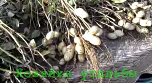 Как вырастить арахис на участке.