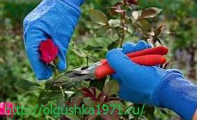 Как обрезать розы на зиму правильно.
