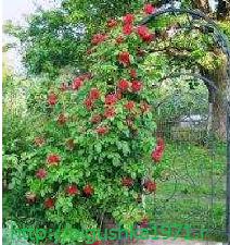 Плетистая роза, подготовка к зиме, осенний уход.