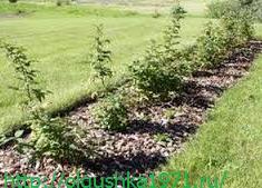 Ремонтантная малина, выращивание и уход, посадка осенью.