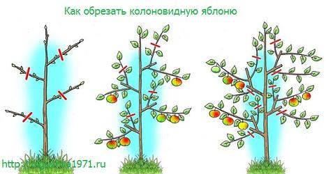 Колоновидная яблоня, посадка и уход.
