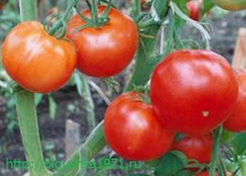 Новые сорта томатов на 2016 год, для теплиц и открытого грунта.