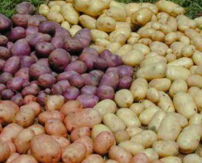 Сорта картофеля фото и описание.