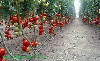 Самые урожайные сорта томатов для теплиц.