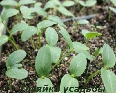 Выращивание огурцов: когда сеять рассаду для теплицы и парника 59