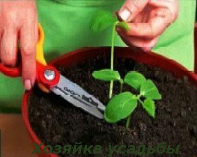Как и когда сеять огурцы на рассаду.2