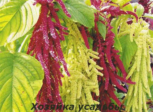 Амарант выращивание из семян.