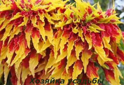 Амарант выращивание из семян.2