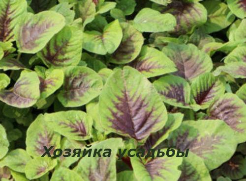 Амарант выращивание из семян.3