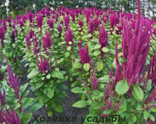 Амарант выращивание из семян.4