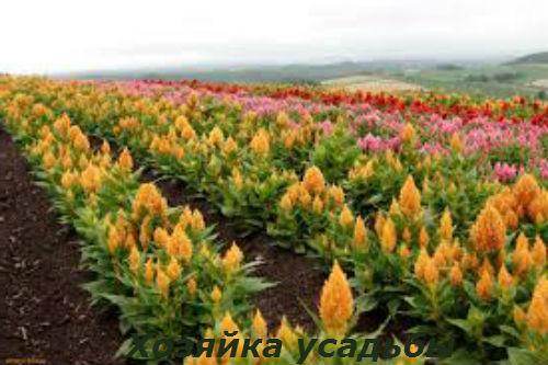 Амарант выращивание из семян.6