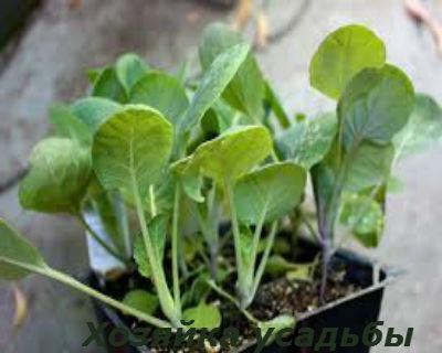 Брюссельская капуста выращивание1.