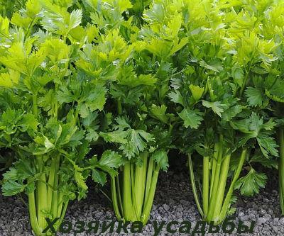 Сельдерей выращивание рассады.3
