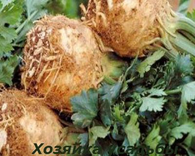 Сельдерей выращивание рассады.4