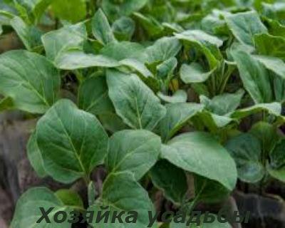 Выращивание баклажанов в теплице1