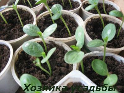 Выращивание рассады арбузов1