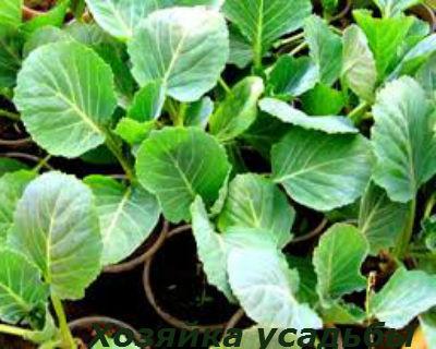 Выращивание рассады капусты в домашних условиях1.