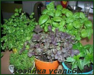 Базилик выращивание из семян2