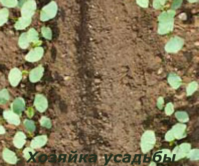 Базилик выращивание из семян3