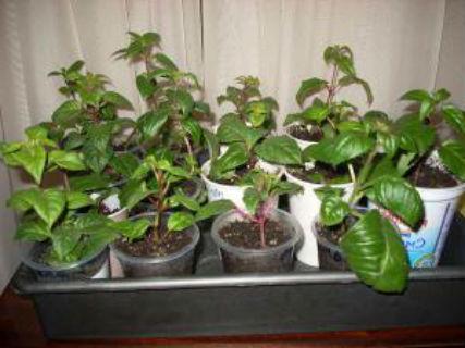 Фуксия выращивание и уход в домашних условиях4