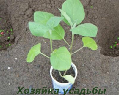 баклажаны выращивание и уход в открытом грунте1