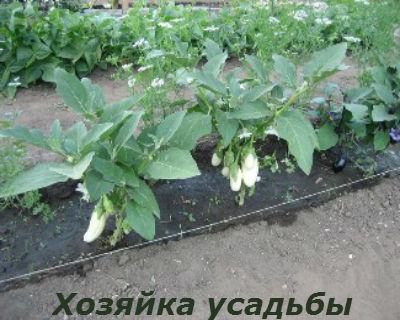 баклажаны выращивание и уход в открытом грунте2