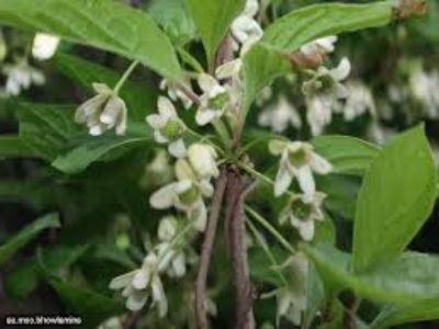 китайский лимонник выращивание и уход2