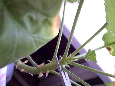 pelargoniya-razmnoghenie-cherenkami