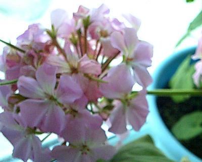 pelargoniya-razmnoghenie-cherenkami2
