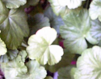 pelargoniya-razmnoghenie-cherenkami3
