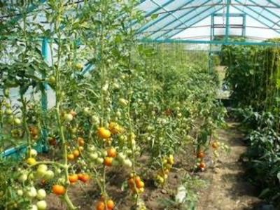 kak-obrezat-pomidory-v-teplitse6