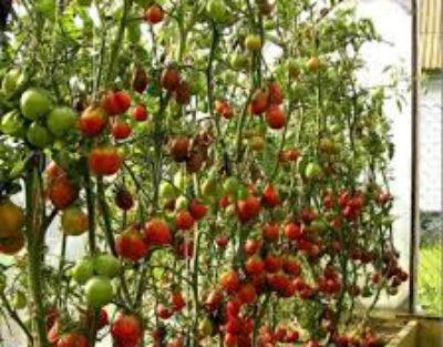 Как обрезать помидоры в теплице.