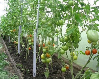Как и когда обрывать листья у томатов в теплице
