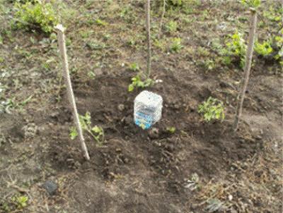 Капельный полив помидор в теплице через пластиковые бутылки