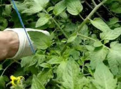 Как правильно опылять помидоры в теплице