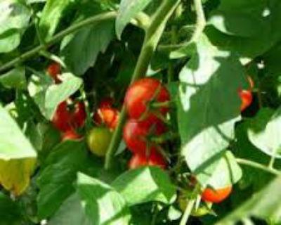 Как ускорить созревание помидор в теплице - надёжные способы