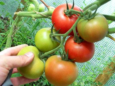 Когда снимать помидоры в теплице.