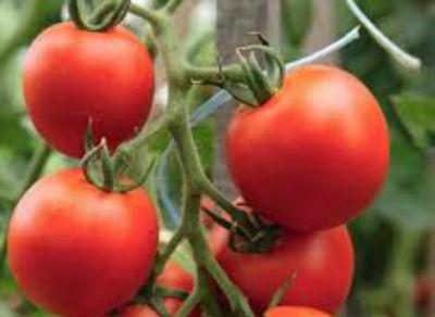 sorta-pomidorov-dlya-teplitsy-iz-polikarbonata